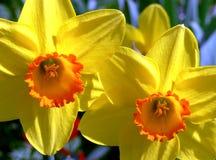 Κίτρινα ανθίζοντας κουδούνια Πάσχας στον πλήρη ήλιο στοκ φωτογραφίες με δικαίωμα ελεύθερης χρήσης