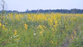 Κίτρινα ανθίζοντας λουλούδια στο λιβάδι φιλμ μικρού μήκους