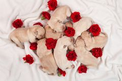 Κίτρινα απορρίματα σκυλιών κουταβιών του Λαμπραντόρ - νεογέννητα σκυλάκια με το κόκκινο carn Στοκ Φωτογραφία