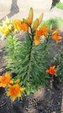 Κίτρινα ασιατικά λουλούδια κρίνων στοκ εικόνες