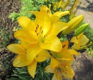 Κίτρινα ασιατικά λουλούδια κρίνων στοκ φωτογραφία με δικαίωμα ελεύθερης χρήσης