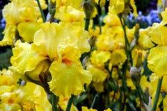 Κίτρινα γενειοφόρα λουλούδια της Iris Στοκ Φωτογραφίες