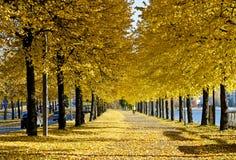 Κίτρινα δέντρα και κίτρινα φύλλα στο έδαφος στοκ φωτογραφία