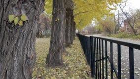 Κίτρινα δέντρα φθινοπώρου απόθεμα βίντεο