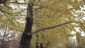 Κίτρινα δέντρα φθινοπώρου φιλμ μικρού μήκους