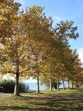 Κίτρινα δέντρα φθινοπώρου Στοκ Εικόνα