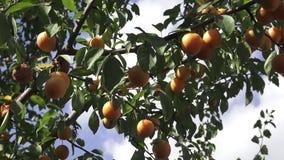 Κίτρινα δαμάσκηνα κορόμηλων Ώριμο κορόμηλο στο δέντρο Syriaca domestica Prunus απόθεμα βίντεο