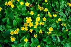 Κίτρινα δασικά λουλούδια σε ένα υπόβαθρο των πράσινων φύλλων στοκ φωτογραφίες με δικαίωμα ελεύθερης χρήσης