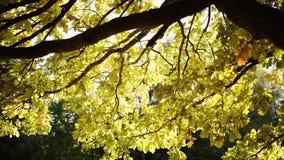 Κίτρινα δρύινα φύλλα λαμβάνοντας υπόψη τον ήλιο φθινοπώρου απόθεμα βίντεο