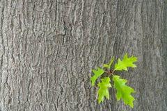 Κίτρινα δρύινα φύλλα σε ένα κλίμα του δρύινου φλοιού Φθινόπωρο σε ένα δρύινο άλσος διάστημα αντιγράφων στοκ εικόνες