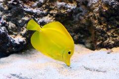 Κίτρινα ζωηρόχρωμα aquarian ψάρια Στοκ Φωτογραφίες