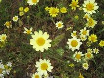 Κίτρινα και άσπρα λουλούδια μαργαριτών Στοκ Εικόνα