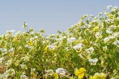 Κίτρινα και άσπρα λουλούδια viola στον κήπο Στοκ Φωτογραφίες