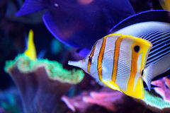 Κίτρινα και άσπρα ψάρια θάλασσας Στοκ Εικόνες