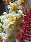 Κίτρινα και άσπρα Nardo & x28  narcissus& x29  με το bromeliad στοκ εικόνα