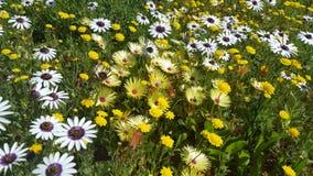 Κίτρινα και άσπρα wildflowers Στοκ φωτογραφία με δικαίωμα ελεύθερης χρήσης