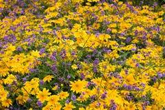 Κίτρινα και ιώδη λουλούδια Στοκ Εικόνες