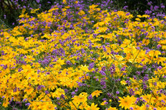 Κίτρινα και ιώδη λουλούδια Στοκ Φωτογραφίες