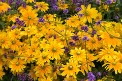 Κίτρινα και ιώδη λουλούδια Στοκ φωτογραφία με δικαίωμα ελεύθερης χρήσης