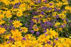 Κίτρινα και ιώδη λουλούδια Στοκ φωτογραφίες με δικαίωμα ελεύθερης χρήσης