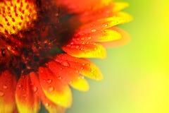 Κίτρινα και κόκκινα πέταλα των λουλουδιών στα σταγονίδια του νερού floral φυσικός ανασκόπησης στενή μακροεντολή μυγών λουλουδιών  Στοκ Εικόνες