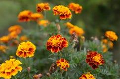 Κίτρινα και κόκκινα Marigolds λουλουδιών Στοκ φωτογραφίες με δικαίωμα ελεύθερης χρήσης