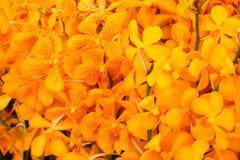 Κίτρινα και πορτοκαλιά λουλούδια ορχιδεών με το πράσινο φύλλο Στοκ φωτογραφία με δικαίωμα ελεύθερης χρήσης