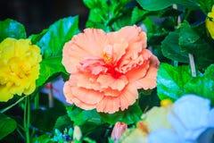 Κίτρινα και πορτοκαλιά Hibiscus Rosa-Sinensis «πολυτελής» επίσης γνωστός ως Γ Στοκ Εικόνες