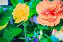 Κίτρινα και πορτοκαλιά Hibiscus Rosa-Sinensis «πολυτελής» επίσης γνωστός ως Γ Στοκ φωτογραφία με δικαίωμα ελεύθερης χρήσης