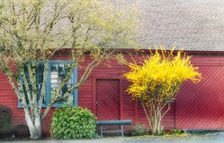 Κίτρινα και πράσινα άνοιξη ενάντια στο κόκκινο κτήριο Στοκ Εικόνες