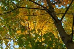 Κίτρινα και πράσινα φύλλα σφενδάμου στοκ εικόνες