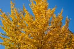 Κίτρινα και χρυσά φύλλα των μεγάλων δέντρων biloba Ginkgo ενάντια στο μπλε ουρανό Χρυσό φύλλωμα όπως ένα πολύβλαστο κίτρινο σύννε στοκ φωτογραφίες με δικαίωμα ελεύθερης χρήσης