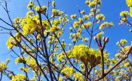 Κίτρινα κεφάλια λουλουδιών στο δέντρο Στοκ Εικόνες