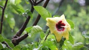 Κίτρινα κινεζικά hibiscus με τη βροχή φιλμ μικρού μήκους