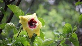 Κίτρινα κινεζικά hibiscus με τη βροχή απόθεμα βίντεο