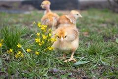 Κίτρινα κοτόπουλα στη χλόη και σε ένα φυσικό υπόβαθρο στο αγρόκτημα, κινηματογράφηση σε πρώτο πλάνο στοκ φωτογραφίες