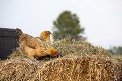 Κίτρινα κοτόπουλα στο σωρό λιπάσματος στοκ φωτογραφία με δικαίωμα ελεύθερης χρήσης