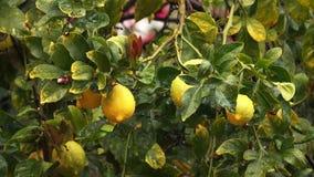 Κίτρινα λεμόνια στο δέντρο κατά τη διάρκεια της βροχής φιλμ μικρού μήκους