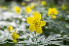 Κίτρινα λουλούδια άνοιξη Anemone ranunculoides στην άνθιση Στοκ Φωτογραφία