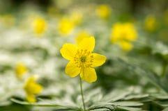 Κίτρινα λουλούδια άνοιξη Anemone ranunculoides στην άνθιση Στοκ Εικόνες