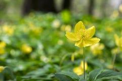 Κίτρινα λουλούδια άνοιξη Anemone ranunculoides στην άνθιση Στοκ φωτογραφία με δικαίωμα ελεύθερης χρήσης