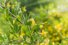 Κίτρινα λουλούδια ακακιών στοκ φωτογραφία