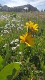 Κίτρινα λουλούδια βουνών σε έναν τομέα μια θερινή ημέρα Στοκ Φωτογραφίες