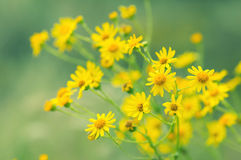 Κίτρινα λουλούδια λιβαδιών σε ένα πράσινο υπόβαθρο Λουλούδια φθινοπώρου, εκλεκτική μαλακή εστίαση Στοκ εικόνα με δικαίωμα ελεύθερης χρήσης