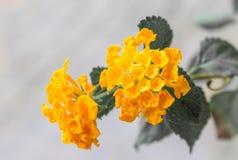 Κίτρινα λουλούδια λουλουδιών λίγο λουλούδι στοκ εικόνα με δικαίωμα ελεύθερης χρήσης