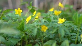 Κίτρινα λουλούδια με μια αράχνη στο φύλλο φιλμ μικρού μήκους