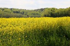 Κίτρινα λουλούδια που αυξάνονται σε έναν τομέα στη Γερμανία στοκ εικόνα