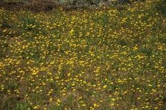 Κίτρινα λουλούδια που διασκορπίζονται πέρα από το ξηρό λιβάδι στοκ εικόνες