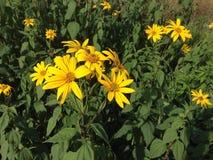 Κίτρινα λουλούδια σε έναν τομέα Στοκ φωτογραφία με δικαίωμα ελεύθερης χρήσης
