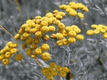 Κίτρινα λουλούδια σε μια γραπτή εικόνα Στοκ Φωτογραφίες